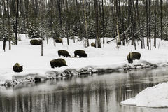 Buffalo in the snow Royalty Free Stock Image