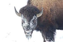 Buffalo. Snowy Wyoming Buffalo in winter Stock Photos