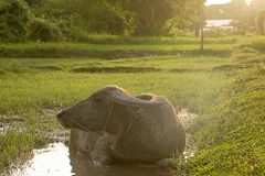 Buffalo is soaking in a small swamp. Royalty Free Stock Images