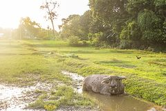 Buffalo is soaking in a small swamp. Stock Photography