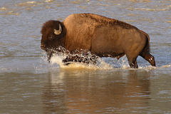 Buffalo Splashing Through River Royalty Free Stock Photos