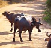 Buffalo on Sri Lanka Stock Photography