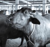 Buffalo. At a stable Stock Photo