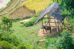 Buffalo in stable, Mu Cang Chai, Vietnam Stock Photos