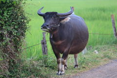 A buffalo stand beside the dirt road in Thailand. Royalty Free Stock Photo