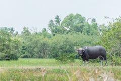 Buffalo. Stand on rice field Stock Photo