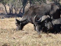 Buffalo standing and buffalo lying Royalty Free Stock Image