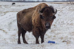 Buffalo. Standing in a field in winter Stock Photo