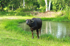 Buffalo standing near the pond. In the farm Royalty Free Stock Photography