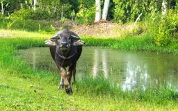 Buffalo standing near the pond. In the farm Stock Photo