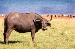 A buffalo standing with an oxpecker on it's head Royalty Free Stock Photos