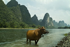 Buffalo standing in a river Stock Images
