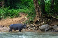 Buffalo is standing in the river. Animal in the wild Stock Image