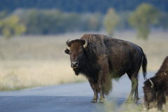 Buffalo standing on road. In Yellowstone Stock Photos