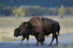 Buffalo standing on road. In Yellowstone Royalty Free Stock Photography
