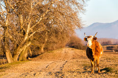 Buffalo standing at the road near Kerkini Lake in Greece Royalty Free Stock Photos