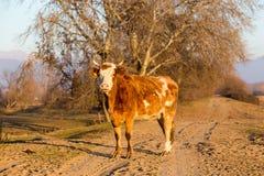 Buffalo standing at the road near Kerkini Lake in Greece Royalty Free Stock Photo