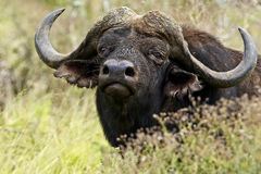 Buffalo standing and staring Royalty Free Stock Photos
