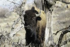 Buffalo standing under a dead tree. stock images