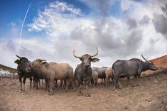 Buffalo staring. At the beautiful blue day Royalty Free Stock Photos