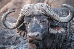 Buffalo starring at the camera. Royalty Free Stock Images