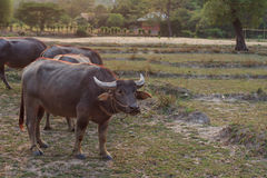 Buffalo. Stay in farm stare something Stock Images