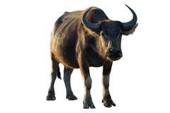 Buffalo su fondo bianco fotografie stock libere da diritti