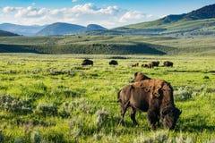 Buffalo sulla gamma Parco nazionale di Yellowstone Immagine Stock