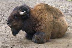 Buffalo sulla terra Fotografia Stock