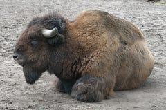 Buffalo sulla terra Fotografia Stock Libera da Diritti