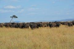 Buffalo sulle pianure dell'Africa Fotografia Stock Libera da Diritti
