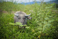 Buffalo, Sumatra, Indonesia Stock Photography