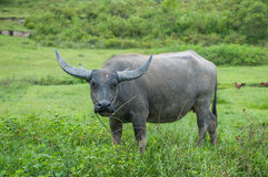Buffalo, Sumatra, Indonesia Royalty Free Stock Images