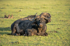 Buffalo in the sun. Two buffaloes laying in the morning sun in the savannah Royalty Free Stock Photo