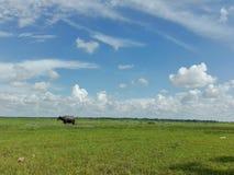 Buffalo sur au vol Image libre de droits