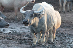 Buffalo sur field9 Photographie stock libre de droits