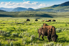 Buffalo sur la gamme Parc national de Yellowstone Image stock