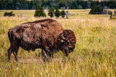 Buffalo sur la prairie Images libres de droits