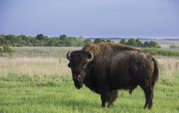 Buffalo sur la prairie Photos libres de droits