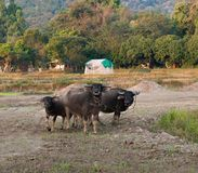 Buffalo sur le champ Photographie stock