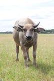 Buffalo sur le champ sauvage Images stock