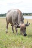 Buffalo sur le champ sauvage Photographie stock