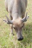 Buffalo sur le champ sauvage Image libre de droits