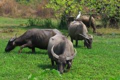 Buffalo sur le champ vert Image libre de droits