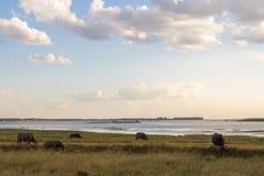 Buffalo sur le pâturage au grand barrage Photos libres de droits
