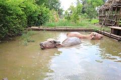 Buffalo swim. Ing in thailand classic Royalty Free Stock Photos