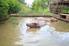 Buffalo. Swim in thailand farm famer Stock Photo