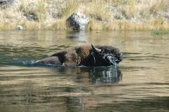 Buffalo swimming. Across a stream Stock Images