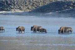 Buffalo swimming across river. In Yellowstone Royalty Free Stock Photos