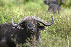 Buffalo (Syncerus caffer caffer). In Serengeti National Park, Tanzania royalty free stock photo
